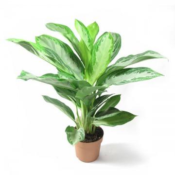 Купить АГЛАОНЕМА СИЛЬВЕР БЕЙ в интернет-магазине - Продажа настольных растений для дома и офиса в Санкт-Петербурге
