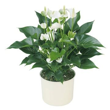 Купить АНТУРИУМ Андре белый в интернет-магазине - Продажа комнатных цветов для дома и офиса в Санкт-Петербурге