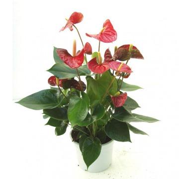 Купить АНТУРИУМ Андре красный в интернет-магазине - Продажа комнатных цветов для дома и офиса в Санкт-Петербурге