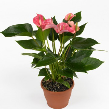 Купить АНТУРИУМ Андре розовый в интернет-магазине - Продажа комнатных цветов для дома и офиса в Санкт-Петербурге