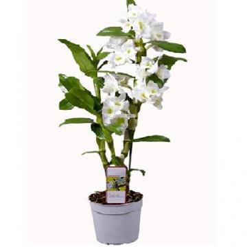 Купить ДЕНДРОБИУМ НОБИЛЕ в интернет-магазине - Продажа орхидей в горшках для дома в Санкт-Петербурге