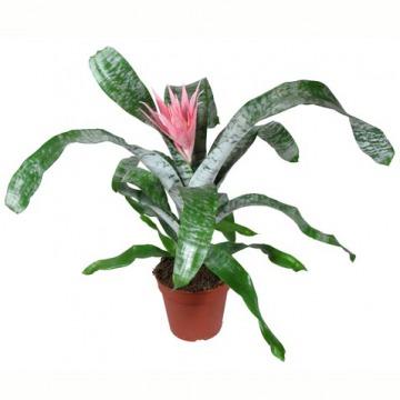 Купить ЭХМЕЯ в интернет-магазине - Продажа комнатных цветов для дома и офиса в Санкт-Петербурге