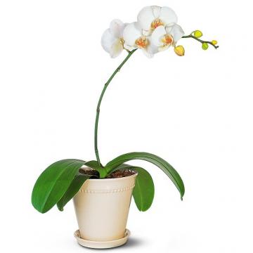 Купить ФАЛЕНОПСИС в интернет-магазине - Продажа орхидей в горшках для дома в Санкт-Петербурге