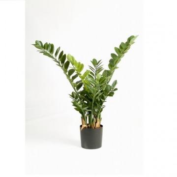 Купить ЗАМИОКУЛЬКАС в интернет-магазине - Продажа настольных растений для дома и офиса в Санкт-Петербурге