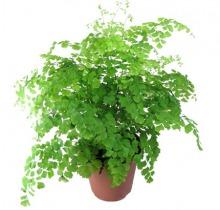 Купить АДИАНТУМ ФРАГРАНС в интернет-магазине - Продажа настольных растений для дома и офиса в Санкт-Петербурге