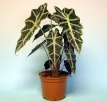Купить АЛОКАЗИЯ в интернет-магазине - Продажа настольных растений для дома и офиса в Санкт-Петербурге