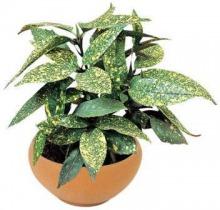 Купить АУКУБА ЯПОНСКАЯ в интернет-магазине - Продажа настольных растений для дома и офиса в Санкт-Петербурге