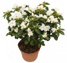 Купить АЗАЛИЯ микс в интернет-магазине - Продажа комнатных цветов для дома и офиса в Санкт-Петербурге