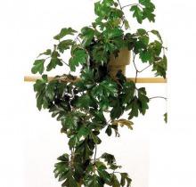 Купить Ампельные растения в интернет-магазине - Продажа комнатных растений для дома и офиса в Санкт-Петербурге