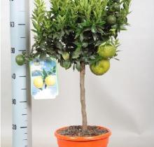 Купить ЧИНОТТО в интернет-магазине - Продажа цитрусовых растений для дома в Санкт-Петербурге