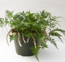 Купить ДАВАЛЛИЯ в интернет-магазине - Продажа настольных растений для дома и офиса в Санкт-Петербурге