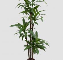 Купить Драцены в интернет-магазине - Продажа комнатных растений для дома и офиса в Санкт-Петербурге