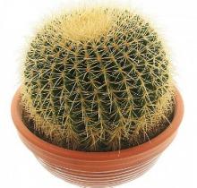 Купить ЭХИНОКАКТУС ГРУЗОНИ в интернет-магазине - Продажа кактусов и суккулентов для дома и офиса в Санкт-Петербурге