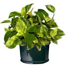 Купить ЭПИПРЕМНУМ АУРЕУМ подвесной в интернет-магазине - Продажа ампельных растений для дома и офиса в Санкт-Петербурге