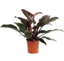 Купить ФИЛОДЕНДРОН ИМПЕРИАЛ РЕД в интернет-магазине - Продажа настольных растений для дома и офиса в Санкт-Петербурге
