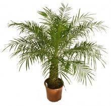 Купить ФИНИК РОБЕЛИНИ в интернет-магазине - Продажа домашних пальм в Санкт-Петербурге