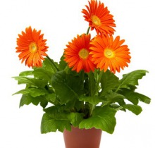 Купить ГЕРБЕРА в интернет-магазине - Продажа комнатных цветов для дома и офиса в Санкт-Петербурге