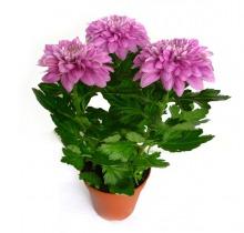 Купить ХРИЗАНТЕМА ЗЕМБЛА в интернет-магазине - Продажа комнатных цветов для дома и офиса в Санкт-Петербурге