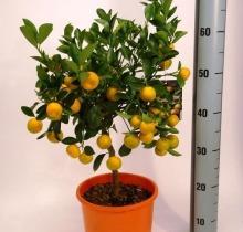 Купить КАЛАМОНДИН в интернет-магазине - Продажа цитрусовых растений для дома в Санкт-Петербурге