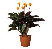 Купить КАЛАТЕЯ КРОКАТА в интернет-магазине - Продажа комнатных цветов для дома и офиса в Санкт-Петербурге