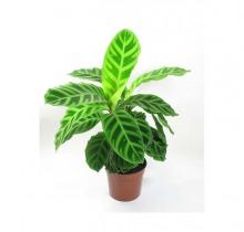 Купить КАЛАТЕЯ ЗЕБРИНА в интернет-магазине - Продажа настольных растений для дома и офиса в Санкт-Петербурге