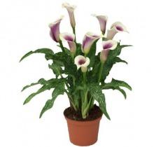 Купить КАЛЛА в интернет-магазине - Продажа комнатных цветов для дома и офиса в Санкт-Петербурге