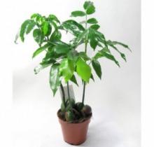 Купить КАСТАНОСПЕРМУМ в интернет-магазине - Продажа настольных растений для дома и офиса в Санкт-Петербурге