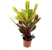 Купить КОДИEУМ ЭКСЕЛЕНТ в интернет-магазине - Продажа настольных растений для дома и офиса в Санкт-Петербурге