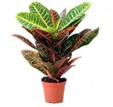Купить КОДИEУМ ПЕТРА в интернет-магазине - Продажа настольных растений для дома и офиса в Санкт-Петербурге
