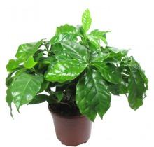 Купить КОФЕ АРАБИКА в интернет-магазине - Продажа настольных растений для дома и офиса в Санкт-Петербурге