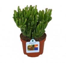 Купить КРАССУЛА ХОББИТ в интернет-магазине - Продажа кактусов и суккулентов для дома и офиса в Санкт-Петербурге