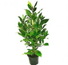 Купить ЛАВР НОБИЛИС в интернет-магазине - Продажа настольных растений для дома и офиса в Санкт-Петербурге