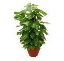 Купить Лианы на опоре в интернет-магазине - Продажа комнатных растений для дома и офиса в Санкт-Петербурге