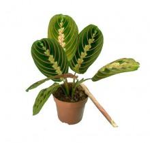 Купить МАРАНТА ФАСЦИНАТОР ТРИКОЛОР в интернет-магазине - Продажа настольных растений для дома и офиса в Санкт-Петербурге