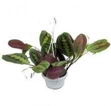 Купить МАРАНТА ФАСЦИНАТОР ТРИКОЛОР подвесная в интернет-магазине - Продажа ампельных растений для дома и офиса в Санкт-Петербурге