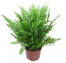 Купить НЕФРОЛЕПИС в интернет-магазине - Продажа ампельных растений для дома и офиса в Санкт-Петербурге