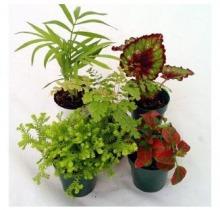 Купить Настольные растения в интернет-магазине - Продажа комнатных растений для дома и офиса в Санкт-Петербурге