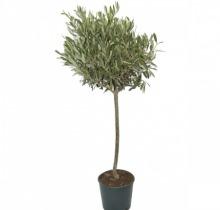 Купить ОЛИВКОВОЕ ДЕРЕВО в интернет-магазине - Продажа настольных растений для дома и офиса в Санкт-Петербурге