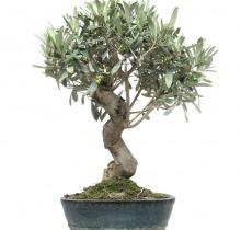 Купить Оливковое дерево в интернет-магазине - Продажа деревьев бонсай в Санкт-Петербурге
