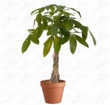 Купить ПАХИРА АКВАТИКА в интернет-магазине - Продажа настольных растений для дома и офиса в Санкт-Петербурге