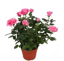 Купить РОЗА в интернет-магазине - Продажа комнатных цветов для дома и офиса в Санкт-Петербурге