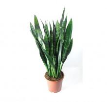 Купить САНСЕВИЕРИЯ БЛЭК КОРАЛ в интернет-магазине - Продажа настольных растений для дома и офиса в Санкт-Петербурге