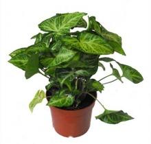 Купить СИНГОНИУМ в интернет-магазине - Продажа настольных растений для дома и офиса в Санкт-Петербурге