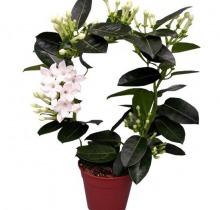 Купить СТЕФАНОТИС Флорибунда в интернет-магазине - Продажа комнатных цветов для дома и офиса в Санкт-Петербурге