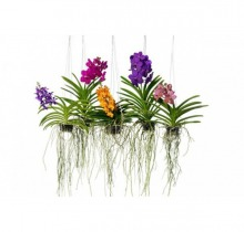 Купить ВАНДА микс в интернет-магазине - Продажа орхидей в горшках для дома в Санкт-Петербурге