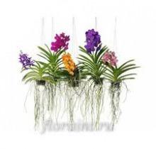 Купить ВАНДА подвесная ассорти в интернет-магазине - Продажа ампельных растений для дома и офиса в Санкт-Петербурге