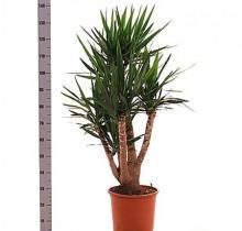 Купить ЮККА разветвленная Д30Н120 в интернет-магазине - Продажа домашних пальм в Санкт-Петербурге